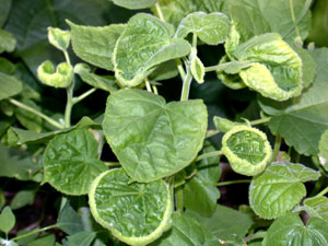 dicamba-cupped-leaves-ABUTH
